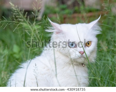 The portrait of Persian white cat with 2 Different-Colored Eyes - Selective focus - stock photo