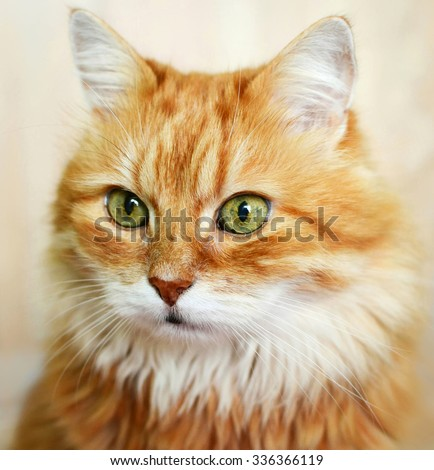 The portrait of red cat. - stock photo