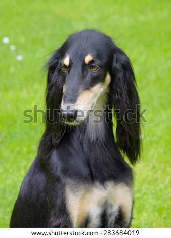 The portrait of Saluki dog in the garden