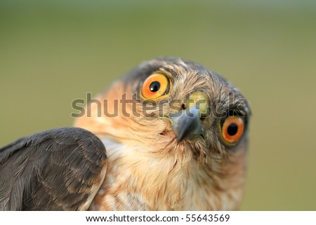 The portrait of sparrow-hawk close-up. - stock photo