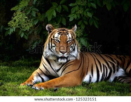 The portrait of Sumatran tiger - stock photo