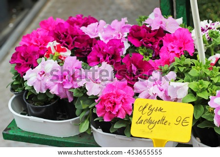 The pots of azaleas on the counter of the flower shop.