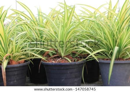 spider plant stock images royalty free images vectors shutterstock. Black Bedroom Furniture Sets. Home Design Ideas