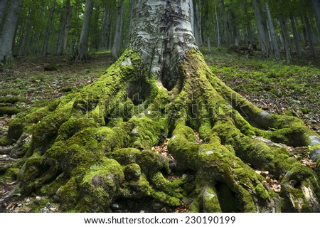 The powerful roots of an ancient beech tree rooted firmly in the ground. - stock photo
