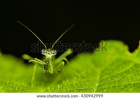 The praying mantis a predatory insect, fearsome with its raptorial fore legs and a proficient hunter / Mantis / Eating their victims alive, good pest control - stock photo