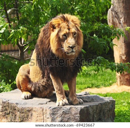 The prisoner lion - stock photo