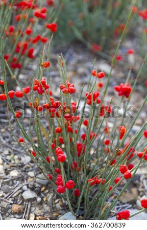 Ephedra Stock Images Royalty Free Images Amp Vectors