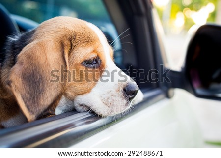 The puppy Beagle looking out of the car.
