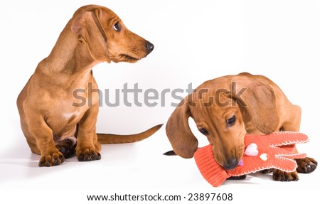 The puppy dachshund holds in a mouth of a glove
