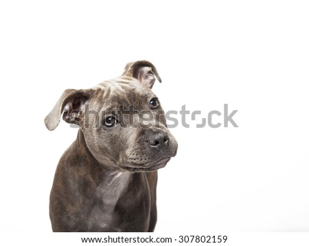 The puppy dog of Pitbull, selected on the white background - stock photo