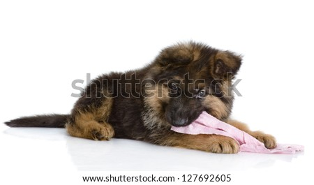 the puppy gnaws a rag. isolated on white background - stock photo