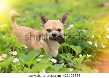 the puppy of a chihuahua on a grass keeps in park in teeth wooden whetstone