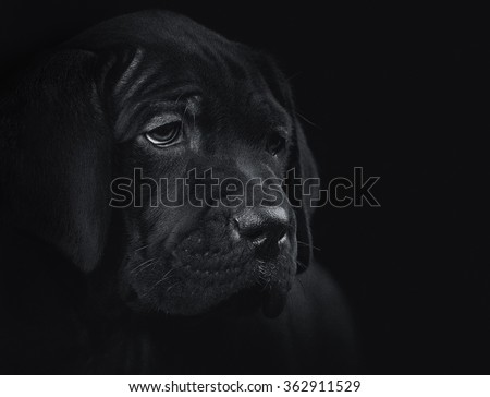 The puppy of cane corso on the black background