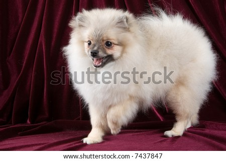 The puppy of the spitz-dog in studio