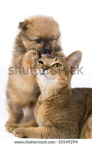 The puppy of the spitz-dog with a cat