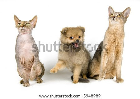The puppy of the spitz-dog with cats in studio - stock photo