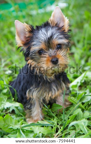 The puppy of the yorkshire terrier in a grass