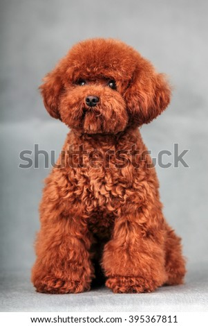 The Purebred  poodle dog isolated  in studio. - stock photo