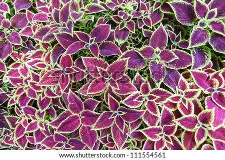 Púrpura Pasión Planta, Violeta Pasión Púrpura, Planta De Terciopelo - Gynura aurantiaca