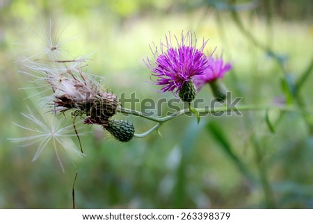 The purple blossom of the native midwestern USA wildflower Tall Thistle, Cirsium altissimum, blooms over a motled green background. - stock photo