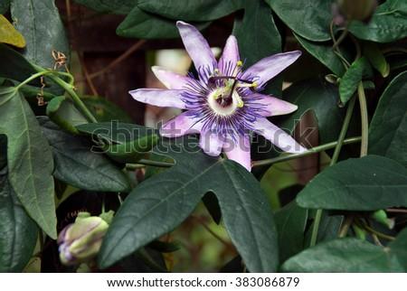 The purple passionflower or Passiflora incarnata - stock photo