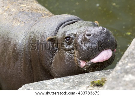 The pygmy hippopotamus is a small (mini) hippopotamid which is native to the forests and swamps of West Africa. - stock photo