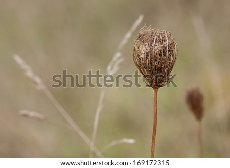 The queen anne'??s lace still grasps its seeds in its woody umbel nest. Behind the flower overlapping orchard grasses mark a location in meadow for the flower to drop its seeds. - stock photo