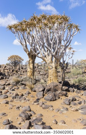 The quiver tree, or aloe dichotoma, or Kokerboom, one of the most interesting and characteristic plants of the very hot and dry parts of Namibia