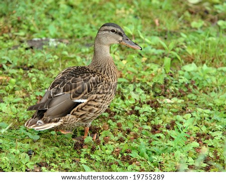 The rain has just passed, drops are still visible on a grass and feathers of the female wild duck - stock photo