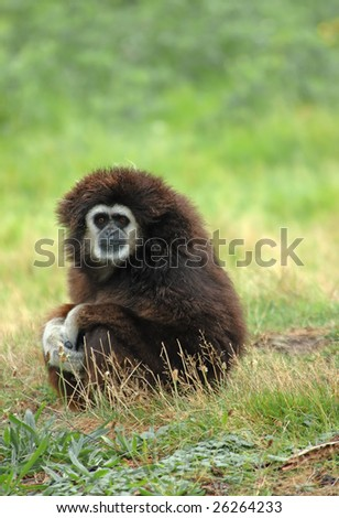 The rain has stopped, the young white-handed gibbon tries to dry the wool on the sun - stock photo