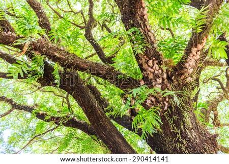 The Rain Tree  thailand stock photo - stock photo
