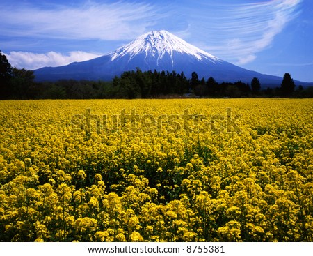 The rapeseed blossoms are in fuji blossom on soring and Mt, fuji - stock photo