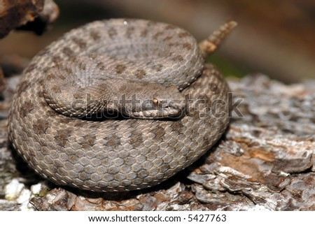 The rare and endangered twin-spotted rattlesnake coiled waiting for a passing meal. - stock photo