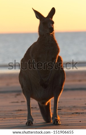 The rare sight of an eastern grey kangaroo on the beach in the morning. There only a few places in the world to witness this including cape hillsborough - stock photo