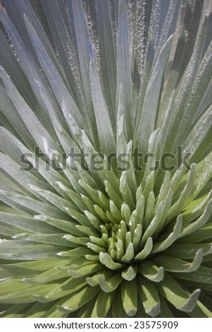 The rare silversword plant is unique to the upper slopes of Haleakala on Maui, Hawaii.