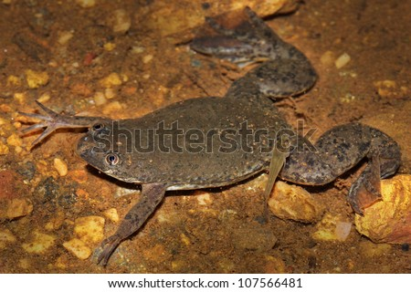 The RARE Uganda Clawed Frog (Xenopus ruwenzoriensis) is a species of frog in the Pipidae family. Photographed in the wild in Uganda, Africa. - stock photo