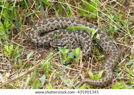the rarest snake in Europe, meadow adder photographed in natural habitat in Transylvania ( Vipera ursinii rakosiensis ) - stock photo