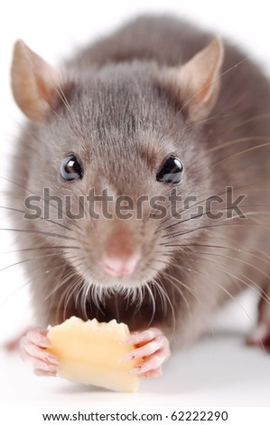 the rat with cheese on a white background - stock photo