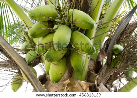 The Raw Coconut on tree