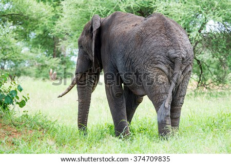 The Rear End of an old Elephant - stock photo