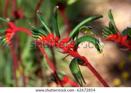 The Red and Green Kangaroo Paw (Anigozanthos manglesii)  â??Western Australia's floral emblem. - stock photo