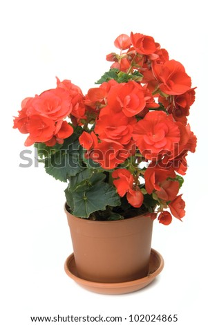 The red blossoming begonia isolated on white background - stock photo