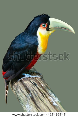 The Red-breasted Toucan sitting on the branch - stock photo