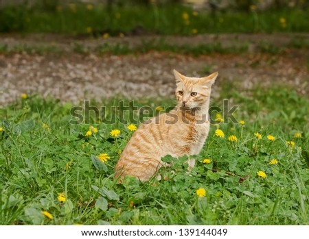 The red cat with yellow eyes plays in a green grass with yellow dandelions. Homeless, wild, young. Outdoors, out of the room. Animal.