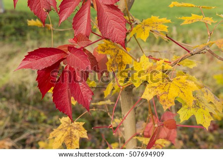 The red colored leaves of wild wine.