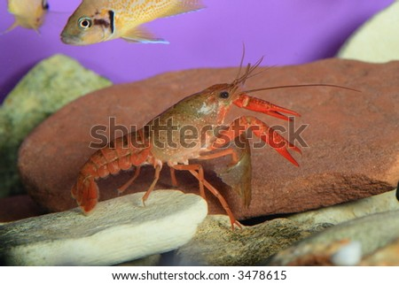 the red crawfish in aquarium, natural lighting - stock photo