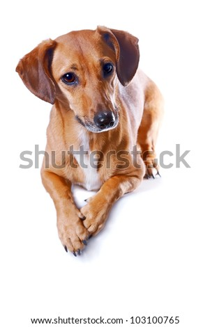 The red dachshund lies on a white background