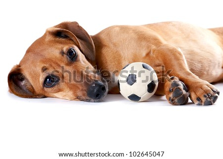 The red dachshund with a ball lies on a white background