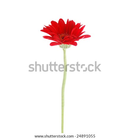the red daisy isolated white - stock photo