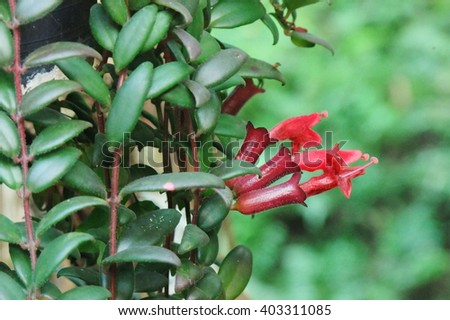 The red flowers are long and tubular, lipstick plant, ivy plants with red flowers